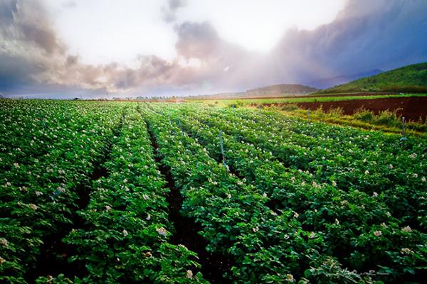 Nông trại khoai tây