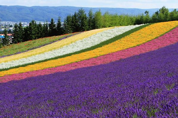 Cánh đồng hoa oải hương Sakiwai